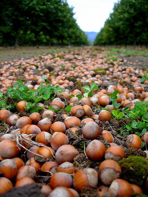 Плоды орешника